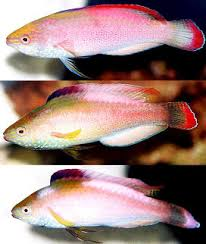 red fairy wrasse