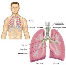 lung anatomy images