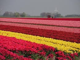 holland flower