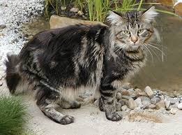coon cats pictures