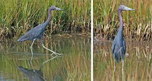 blue heron birds