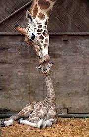 cartoon baby giraffes