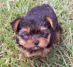 baby yorkshire terriers