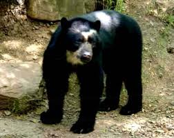 oso frontino
