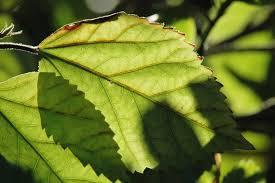 leaf plants