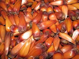 araucaria seed