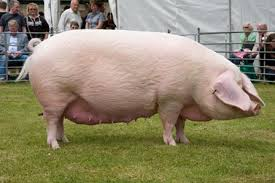 sow pigs
