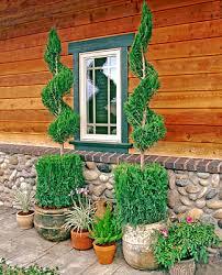 evergreen ornamental tree