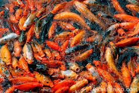 awesome freshwater fish
