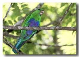 blue bellied parrots