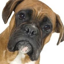 boxer dog toy