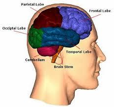 3d brain diagram