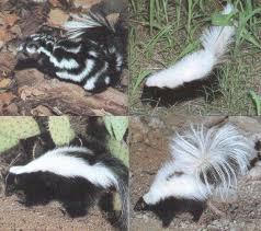 skunks pictures