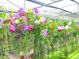 orchids cultivation