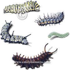 butterflies larvae