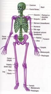 basic human skeleton