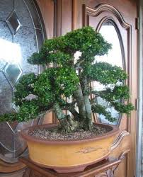 large bonsai trees