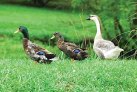 duck or goose