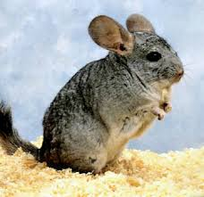 chinchilla animals