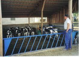 dairy heifers