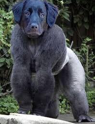 gorilla dog