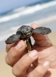 como nacen las tortugas