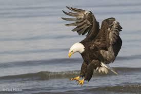 birds of prey eagles