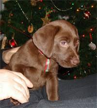 american chocolate labrador