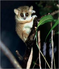 mouse lemurs of madagascar