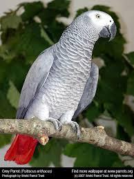 amazon grey parrot