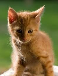 ginger cat breeds