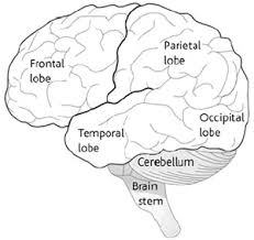 four parts of the brain