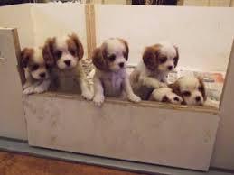 king charles pups