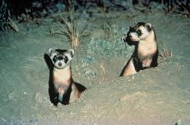 black footed ferret photos