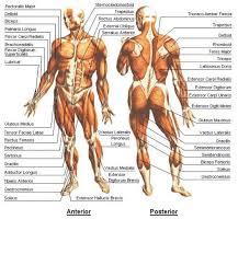 body anatomy chart