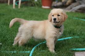 puppy golden retrievers