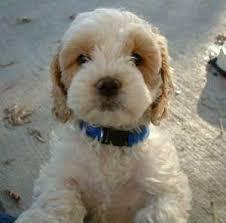 puppy cockapoo