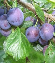 plum tree fruit