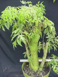 ming aralia bonsai