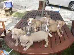 pitbull terrier puppies