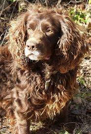boykin puppy