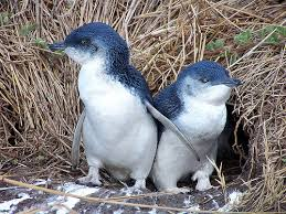 fairy little blue penguins