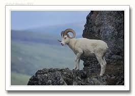 dall sheep photos
