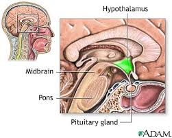 hypothalamus pictures