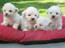 poodle toys