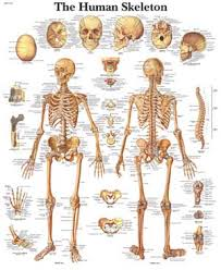 anatomical picture human body