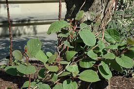 kiwifruit plant