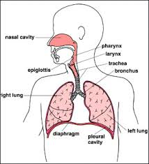 anatomy of respiratory
