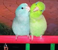 parrotlets pictures