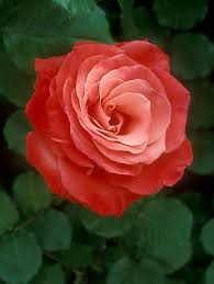 artistry rose